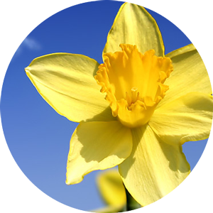 The Daffodil Project Banner